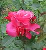 Роза Шопен. Чайно-гибридная роза.