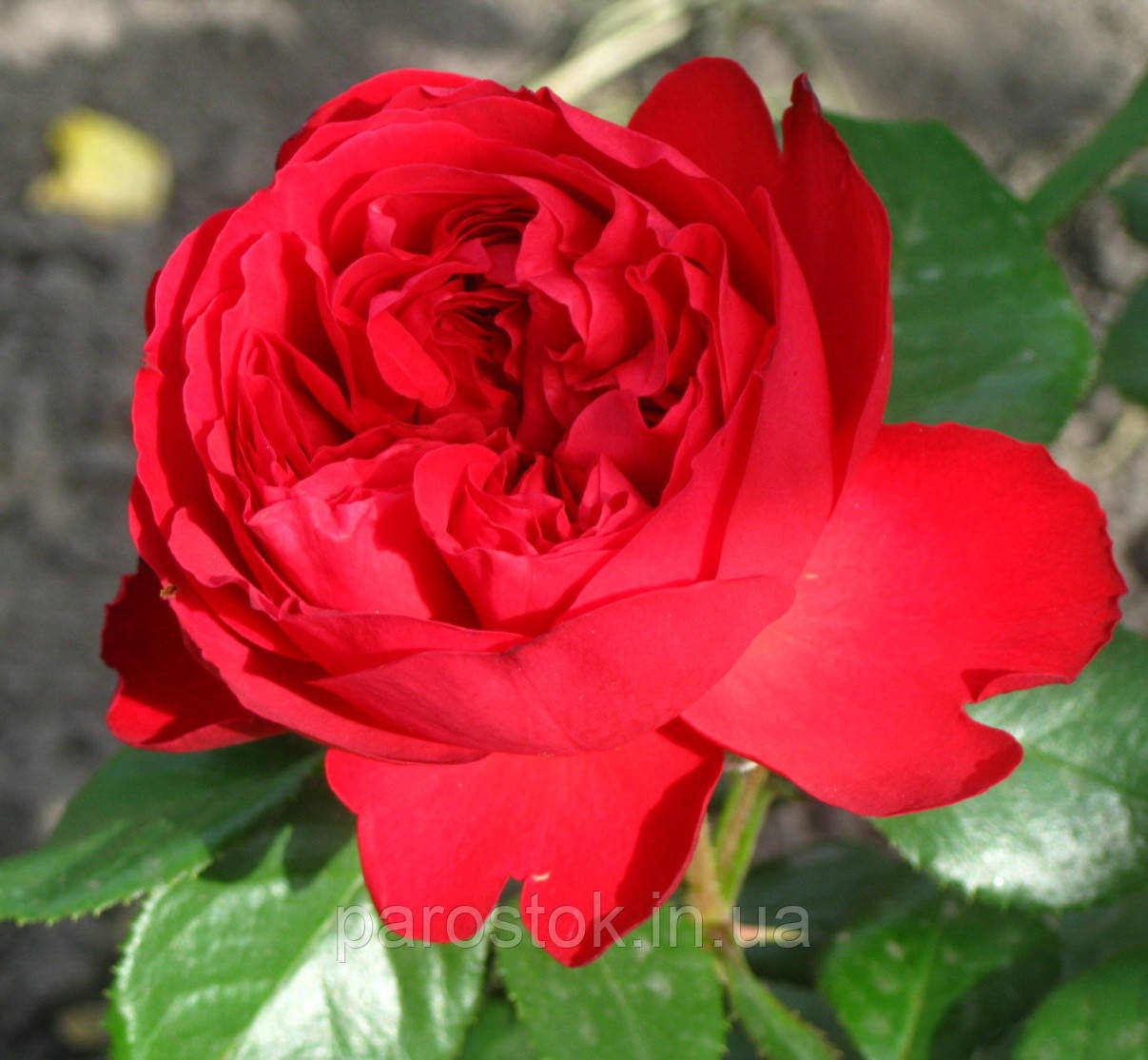 Розы саженцы Алан Сушон. Чайно-гибридная роза