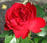 Роза Алан Сушон. Чайно-гибридная роза.