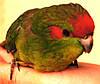 Какарик-новозеландский прыгающий попугай - краснолобый.