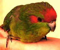 Какарик новозеландський краснолобый (стрибає папуга)