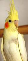 Папуга Корелла - Німфа