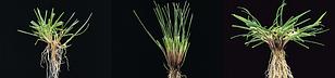 Види і сорти газонних трав компанії DLF-Trifolium