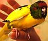 Новозеландский прыгающий попугай Какарик - доминантный пестрый.