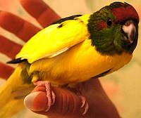Новозеландский прыгающий попугай Какарик - доминантный пестрый., фото 1