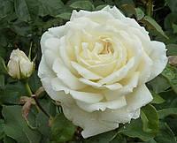 Роза Жанна Моро. Чайно-гибридная.
