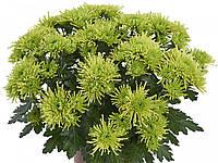 Хризантема саджанець Parakeet Green