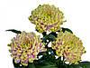 Хризантема саджанець rossano charlotte