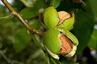 Слэбы из ореха