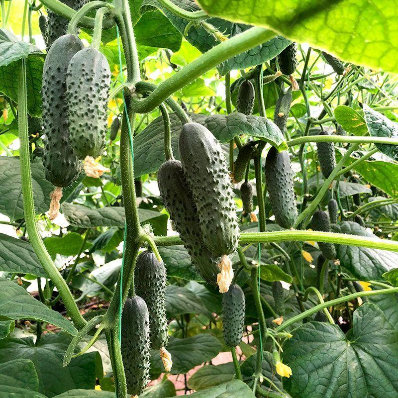 Семена огурца Ромара F1 (250 сем.)