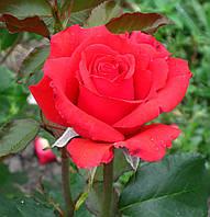 Роза Ред Корвет. Чайно-гибридная роза.  , фото 1