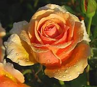 Роза Ашрам. Чайно гибридная., фото 1