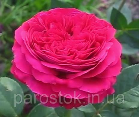 Юрианда роза фото и описание