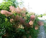 Скумпия кожевенная семена (20 штук) париковое дерево, кожевенник декоративный кустарник скумпія насіння, фото 3