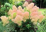 Скумпия кожевенная семена (20 штук) париковое дерево, кожевенник декоративный кустарник скумпія насіння, фото 5