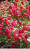 Роза Паулс Скарлет Клаймбер. Плетистая однократноцветущая роза. (вс)
