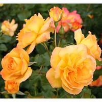 Троянда англійська Цукру