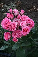Розовий Спрей, фото 2