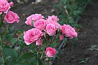 Розовий Спрей, фото 3