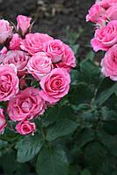 Розовий Спрей, фото 4