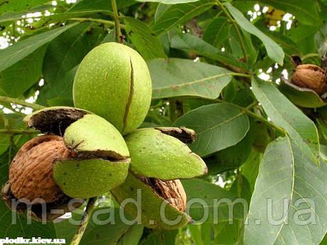 Грецкий орех Черновицкий(трехлетний)тонкокорый, фото 2