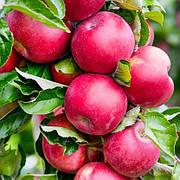 Саженцы Колоновидной яблони Арбат(осенний сорт,ароматный)