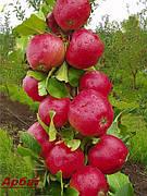 Яблоня Арбат колоновидная(осенний сорт,ароматный,самоплодный)