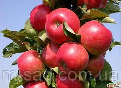 Яблоня Валюта колоновидная(зимний сорт,достойный внимания)