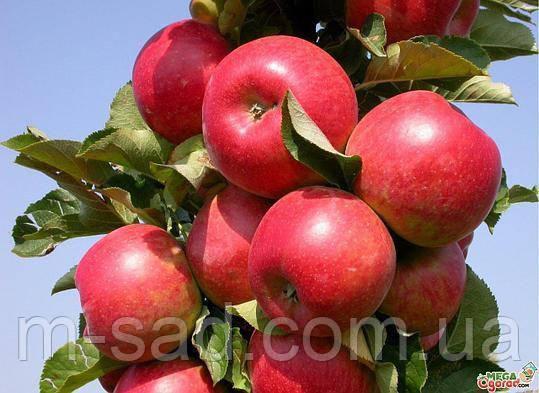 Саженцы Колоновидной яблони Валюта(зимний сорт), фото 2