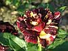 Роза Фокус Покус. (Hocus Pocus)