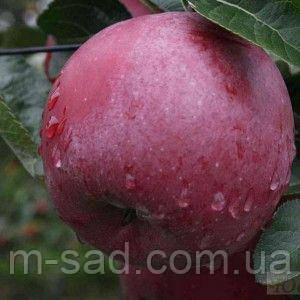 Саженцы Колоновидной яблони Титания(осений сорт,сладкий вкус)