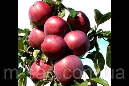 Саженцы Колоновидной яблони Титания(осений сорт,сладкий вкус), фото 2