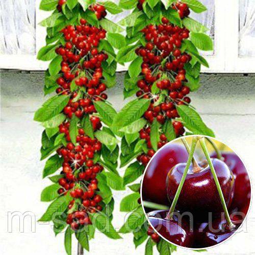 Вишня Восторг колоновидная(средне-ранний,крупноплодный