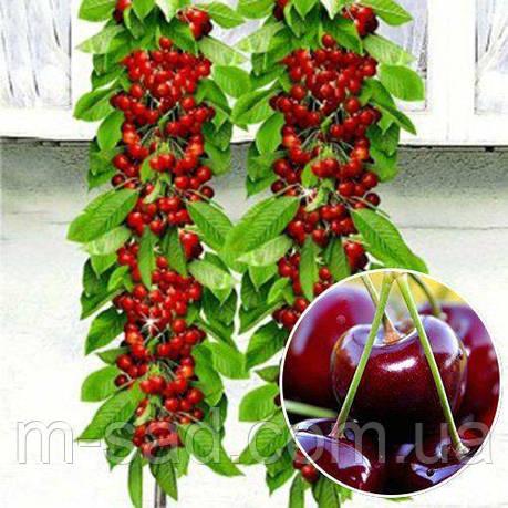 Саженцы колоновидной вишни Восторг(средне-ранний,крупноплодный), фото 2