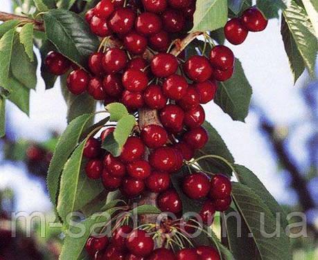 Саженцы Колоновидной вишни Королева(поздний,крупноплодный сорт), фото 2
