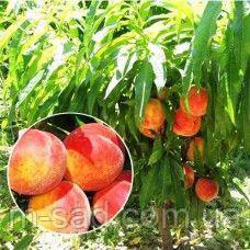 Саженцы Колоновидного персика Балконелла(средний срок созревания)