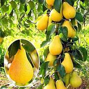 Саджанці Колоновидної груші Медова(пізньоосінній сорт,соковитий,солодкий)