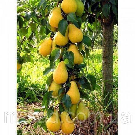 Саджанці Колоновидної груші Медова(пізньоосінній сорт,соковитий,солодкий), фото 2