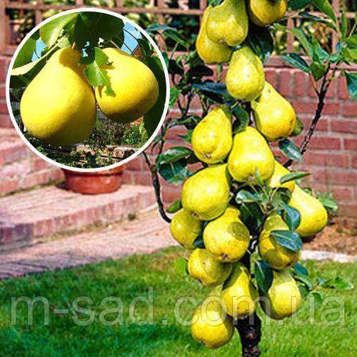 Саджанці Колоновидної груші Сапфира(осінній зимостійкий сорт)