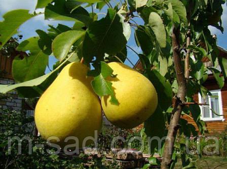 Саджанці Колоновидної груші Сапфира(осінній зимостійкий сорт), фото 2