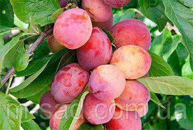 Саженцы колоновидной сливы Империал(скороплодный,сладкий)