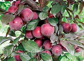 Саженцы колоновидной сливы Империал(скороплодный,сладкий), фото 2