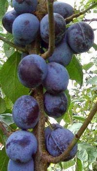 Саженцы Колоновидной сливы Командор(среднеранний,урожайный), фото 2