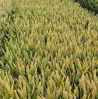 Пшеница озимая Самурай (1 репродукция)