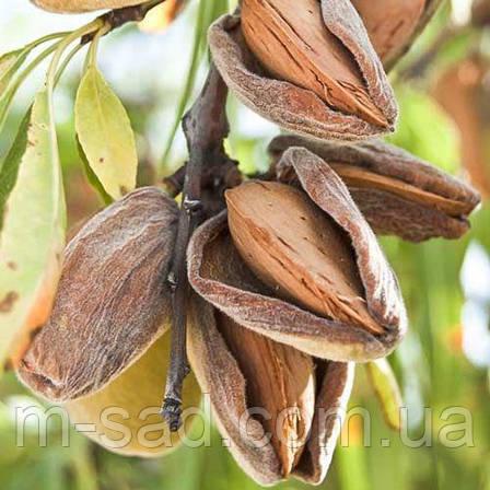 Саженцы привитого Миндаля Амаретто(крупноплодный,до -34 ° С), фото 2