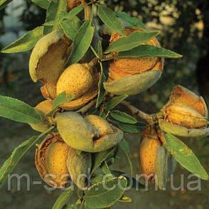 Саженцы привитого Миндаля Десертный(ранний,крупноплодный), фото 2