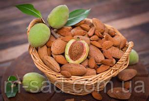 Саженцы Миндаля Десертный сеянец(ранний,крупноплодный), фото 2