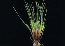 Найпопулярніші сорти Вівсяниці червоної (Festuca rubra rubra) у сумішах газонних трав DLF-Trifolium