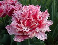 Махрово - бахромчатые тюльпаны.