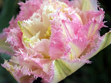 Махрово-бахромчатый тюльпан Cool Crystal Новинка 11/12